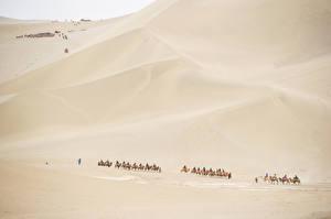 Fotos Wüste Altweltkamele Sand