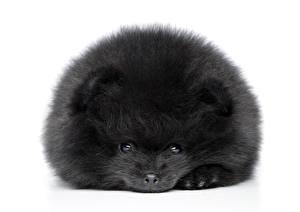 Hintergrundbilder Hund Weißer hintergrund Welpe Spitz Schwarz Pomeranian spitz