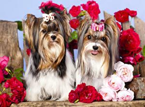 Bilder Hund Rose Zwei Yorkshire Terrier Schleife