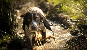 Hintergrundbilder Hunde Nass Spaniel Blick Tiere