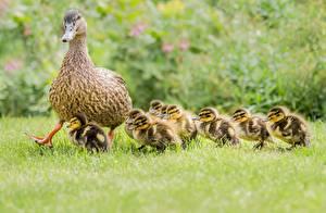 Pictures Duck Nestling Birds Grass Animals