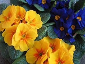 Wallpapers Primula Closeup