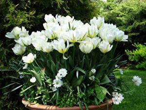 Fondos de escritorio Tulipas Blanco flor