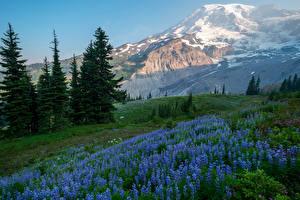 Hintergrundbilder Vereinigte Staaten Park Gebirge Lupinen Fichten Mount Rainier National Park Natur