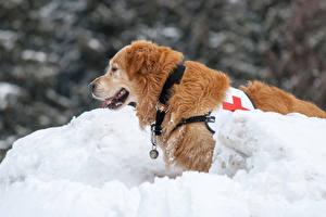 Bilder Winter Hund Schnee Retriever Tiere