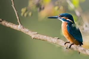Fotos Vögel Eisvogel Ast