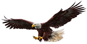 Pictures Birds Eagles Wings White background
