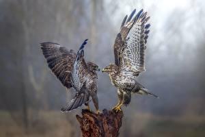 Fotos Vögel Falken 2 Flügel ein Tier