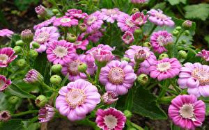 Fotos Cineraria Großansicht Rosa Farbe Knospe Blumen