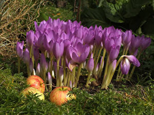 Pictures Crocuses Closeup Apples Violet flower