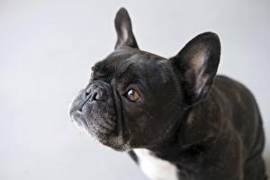 Bilder Hund Schwarz Graues Bulldogge Starren Schnauze Tiere