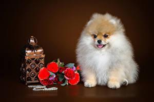 Hintergrundbilder Hund Blumensträuße Rose Schmuck Farbigen hintergrund Spitz