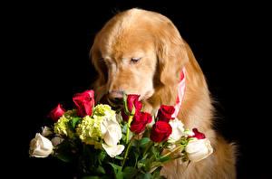 Bilder Hunde Golden Retriever Sträuße Rosen Schwarzer Hintergrund Tiere Blumen