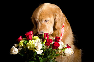Pictures Dogs Golden Retriever Bouquets Roses Black background animal Flowers