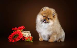 Fotos Hund Sonnenblumen Farbigen hintergrund Spitz Blick
