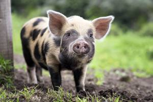 Photo Domestic pig Cubs