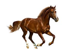 Bilder Pferde Weißer hintergrund Laufen Braun Tiere
