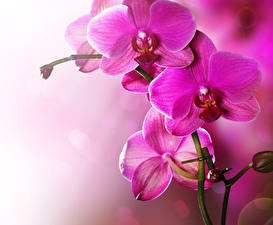 Wallpapers Orchid Closeup Pink color Flowers