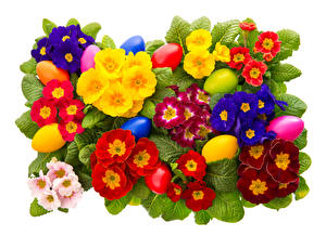 Bilder Schlüsselblumen Hautnah Ostern Weißer hintergrund Mehrfarbige Eier Blumen