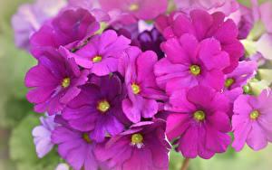 Image Primula Closeup Pink color