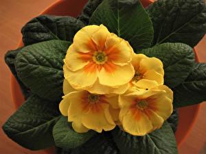 Pictures Primula Closeup Yellow