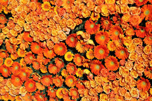 Photo Roses Gerbera Many Texture Orange flower