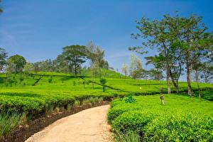 Bilder Sri Lanka Felder Frühling Wege Bäume Nuwara Eliya Natur