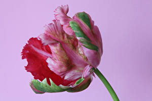 Hintergrundbilder Tulpen Großansicht Farbigen hintergrund Blüte