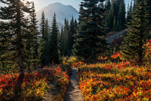 Fotos USA Park Wälder Fichten Weg Mount Rainier National Park Natur