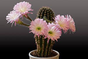 Bilder Kakteen Hautnah Grauer Hintergrund Rosa Farbe Blumen