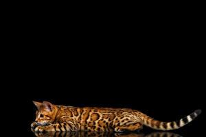 Fotos Katze Bengalkatze Schwarzer Hintergrund Schwanz