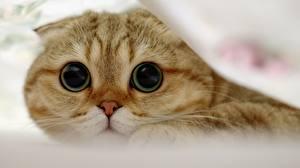 Hintergrundbilder Katzen Schottische Faltohrkatze Augen Blick