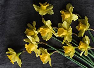 Fotos Narzissen Hautnah Grauer Hintergrund Gelb Blüte