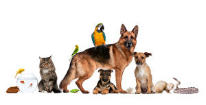 Pictures Dogs Cats Birds Guinea pigs Parrots Snakes White background Shepherd Animals