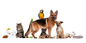 Fotos Hunde Katzen Vogel Hausmeerschweinchen Papageien Schlangen Weißer hintergrund Shepherd