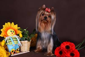 Hintergrundbilder Hunde Gerbera Yorkshire Terrier Weidenkorb ein Tier