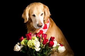 Fotos Hunde Golden Retriever Sträuße Rosen Schwarzer Hintergrund Tiere