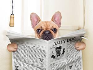 Hintergrundbilder Hunde Zeitung Bulldogge Klosett Tiere