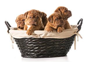 Bilder Hunde Weißer hintergrund Weidenkorb Welpe Bulldogge