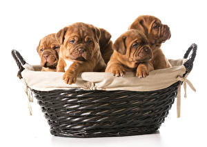 Wallpaper Dog White background Wicker basket Puppy Bulldog Animals
