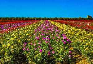 Bakgrunnsbilder Åker Roser Mange Busker Fargerike Blomster