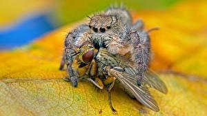 Bilder Fliegen Webspinnen Springspinnen