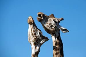 Hintergrundbilder Giraffe Kopf 2