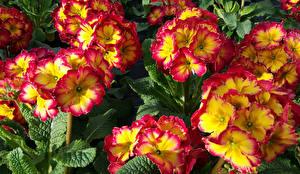 Pictures Primula Closeup