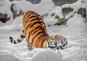 Fotos Tiger Schnee Süßes Tiere