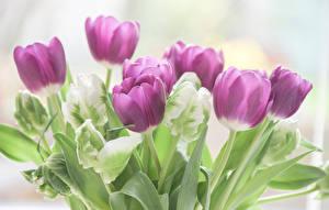 Hintergrundbilder Tulpen Hautnah Violett Blumen