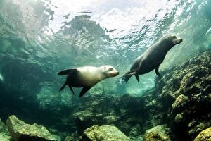 Wallpaper Underwater world Seals Two animal