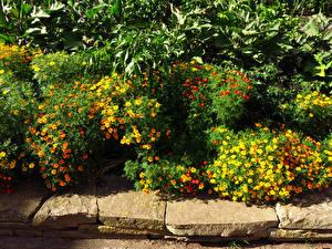 Photo United Kingdom Gardens Tagetes Many London Shrubs Kew Gardens Nature