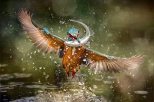 Bilder Vögel Eisvogel Fische Spritzer Flug
