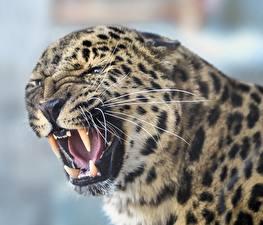 Hintergrundbilder Eckzahn Leoparden Grinsen Schnurrhaare Vibrisse Schnauze ein Tier